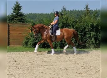 Latvian Warmblood, Mare, 9 years, 16.2 hh, Chestnut-Red