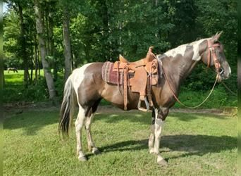 Other Breeds, Mare, 14 years, 16.1 hh