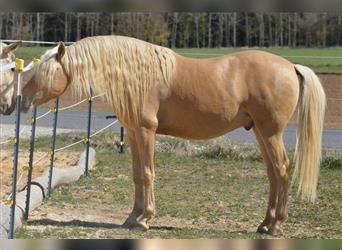 Spanish Sporthorse Mix, Mare, Foal (06/2021), 16 hh, Brown