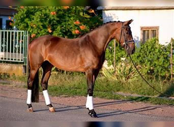 Hungarian Sport Horse, Mare, 7 years, 16 hh, Brown
