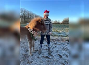 Icelandic Horse, Mare, Foal (07/2021), 14.1 hh, Chestnut-Red