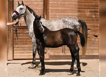 Holstein, Stallion, Foal (03/2021), 17 hh, Can be white