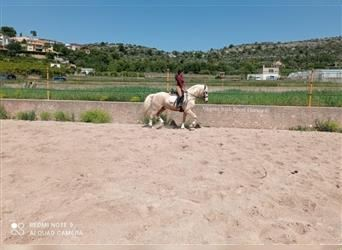 Andalusian, Gelding, 7 years, 16.1 hh, Palomino