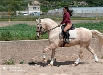 Andalusier, Wallach, 7 Jahre, 165 cm, Palomino