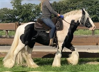 Gypsy Horse, Gelding, 8 years, 14.1 hh, Pinto