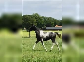NRPS, Mare, Foal (04/2021), 13.2 hh, Tobiano-all-colors