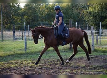 Other Thoroughbreds, Mare, 4 years, 16.1 hh, Chestnut-Red