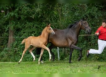 German Riding Pony, Stallion, Foal (05/2021), 14.2 hh, Chestnut-Red