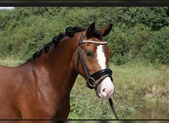 New Forest Pony, Gelding, 3 years, 13.3 hh, Brown