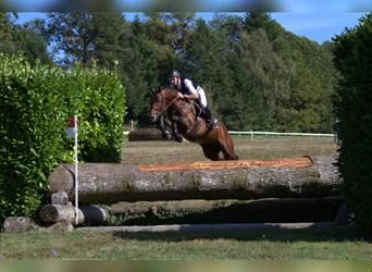 Anglo-Arab, Stallion, 9 years, 16 hh, Brown