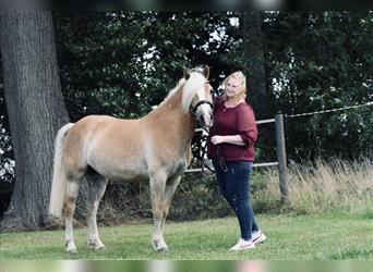 Haflinger, Mare, 11 years, 13.2 hh, Chestnut-Red