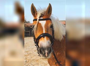 Haflinger, Mare, 14 years, 14.1 hh, Chestnut-Red