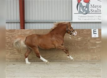 Welsh A (Mountain Pony), Stallion, 4 years, 11.2 hh, Chestnut-Red