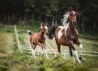 Arabian Partbred, Stallion, Foal (04/2021), Tobiano-all-colors