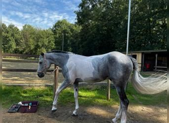Other Breeds Mix, Gelding, 6 years, 15.1 hh, Gray-Blue-Tan