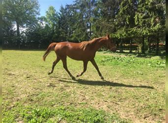 French Trotter, Mare, 2 years, 15.2 hh, Chestnut-Red