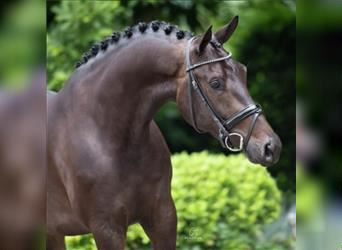 KWPN, Mare, 6 years, 16.1 hh, Smoky-Black