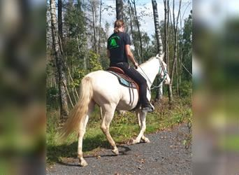 Other Breeds, Mare, 7 years, 15.1 hh, Cremello