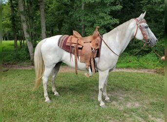 American Quarter Horse, Mare, 15 years, 15 hh, Gray