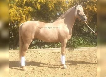 Andalusian, Mare, 7 years, 16.2 hh, Palomino