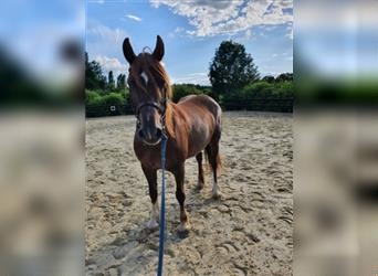 Welsh D (Cob), Mare, 16 years, 14.1 hh, Chestnut-Red