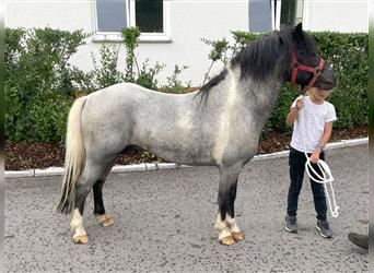 Other Breeds Mix, Gelding, 6 years, 11.2 hh, Gray-Blue-Tan