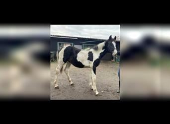 Baroque Pinto, Stallion, 1 year, 15.1 hh, Tobiano-all-colors