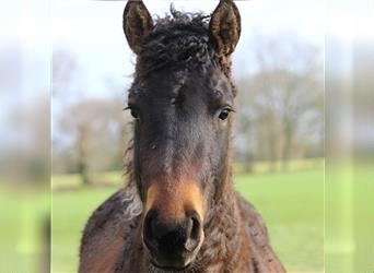 Curly Horse, Hengst, 2 Jahre, 160 cm, Rotbrauner