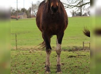Curly horse, Stallion, 2 years, 15.2 hh, Bay