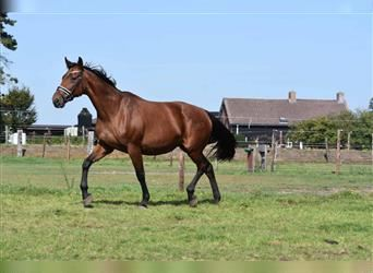 Other Breeds, Mare, 17 years, 16 hh, Brown