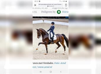 NRPS, Mare, 6 years, 15.2 hh, Chestnut-Red