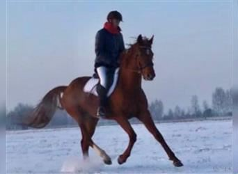 French Trotter, Mare, 8 years, 16 hh, Chestnut-Red