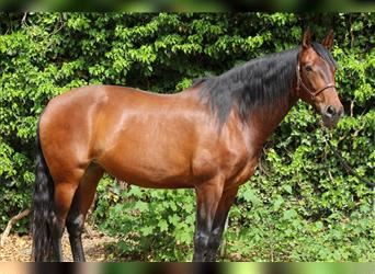 P.R.E. Mix, Mare, 7 years, 16 hh, Brown