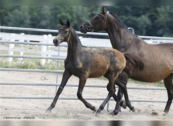 Anglo-Arab, Mare, 1 year, Gray