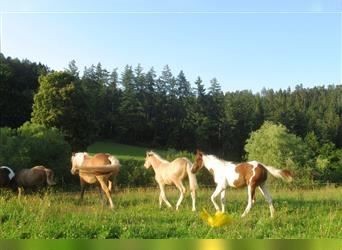 Quarter Pony, Stallion, Foal (04/2021), 14.1 hh, Tobiano-all-colors