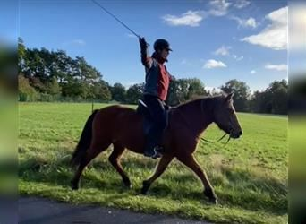 Icelandic Horse, Mare, 9 years, 13.3 hh, Brown