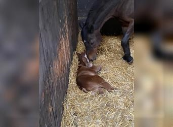 German Riding Pony, Mare, 5 years, 13.3 hh, Brown