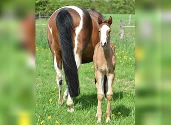 Small German riding horse, Mare, Foal (05/2021)