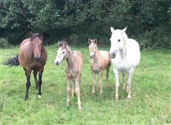 Connemara Mix, Mare, 1 year, 16 hh, Can be white