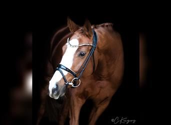 German Riding Horse, Mare, 3 years, 16 hh, Chestnut-Red
