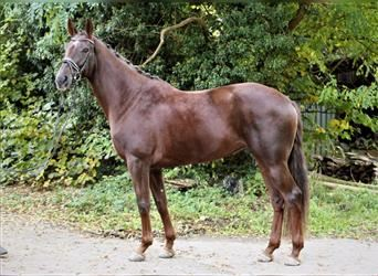 Hanoverian, Mare, 4 years, 17 hh, Chestnut-Red