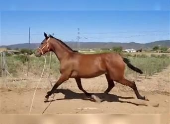 Andalusian Mix, Mare, 2 years, 15.1 hh, Bay