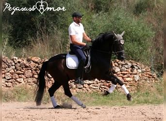 Andalusier, Wallach, 5 Jahre, 156 cm, Rappe