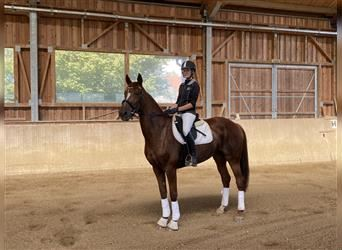 French Trotter, Mare, 10 years, 16.1 hh, Chestnut-Red