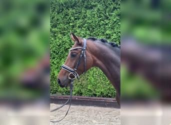 German Riding Horse, Mare, 3 years, 15.3 hh, Brown