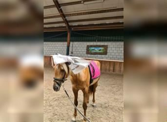 Other Breeds, Mare, 3 years, 14.1 hh, Palomino