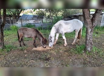 Gypsy Horse, Gelding, 2 years, 13.3 hh, Tobiano-all-colors