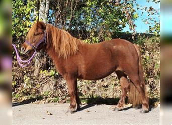 Shetland Ponies, Mare, 10 years, 11 hh, Chestnut-Red