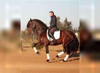Andalusier, Wallach, 12 Jahre, 173 cm, Rotbrauner