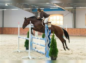 Other Warmbloods, Mare, 13 years, 16.1 hh, Bay